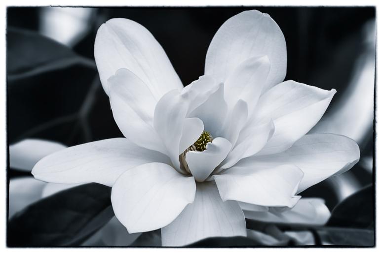 magnolia b-w 72-