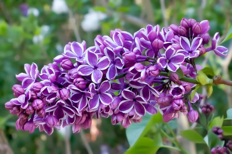 lilacs-